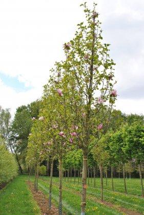 Magnolia Susan 1