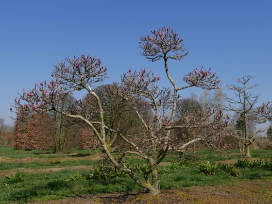 Magnolia Susan 5
