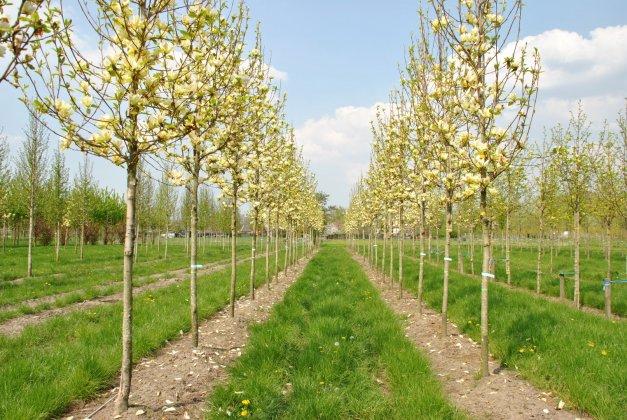 Magnolia-denudata-yellow-river-fei-huang