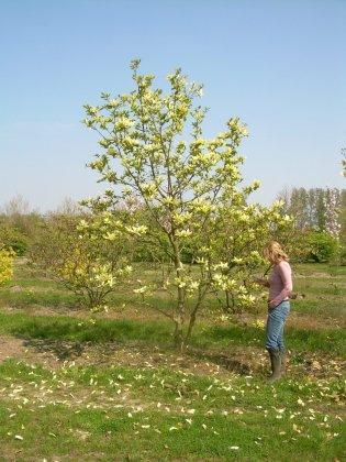 Magnolia Denudata Yellow River 1