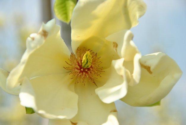 Magnolia Denutata Yellow River 3