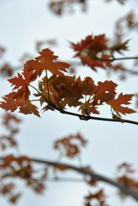 Acer-saccharinum-pyramidale