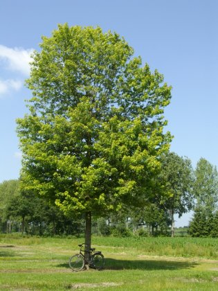 Acer Saccharinum Pyramidalis