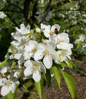 Malus-robusta-persicifolia