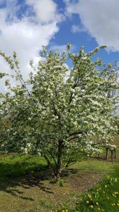 Malus Robusta Persicifolia 1