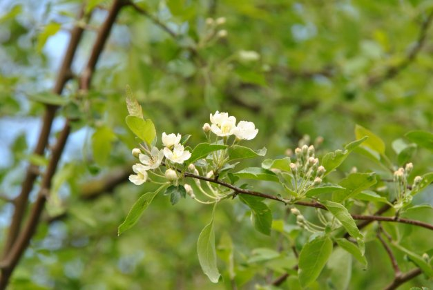 Malus Toringoides Mandarin Ola-