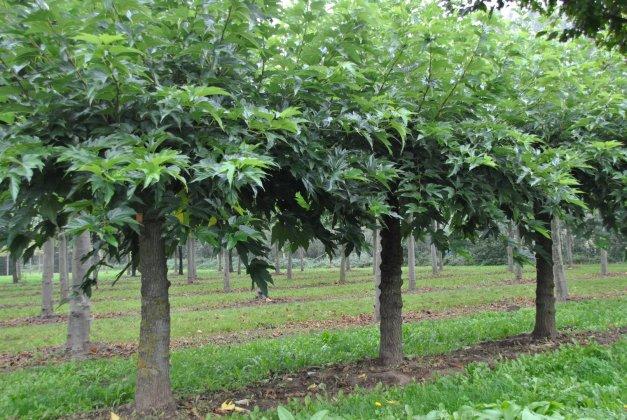 Morus Alba Fruitless 1
