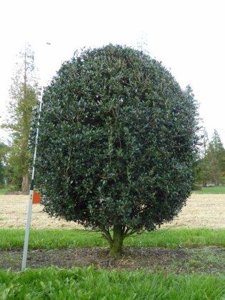 Osmanthus-heterophyllus