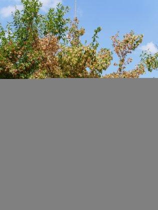 Acer-tatarica-ginnala-20-25-espa