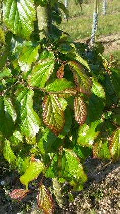 Parrotia Persica Bella 1