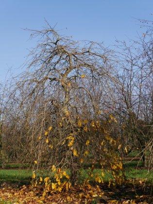 Parrotia Persica Pendula-1