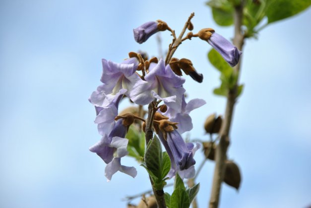 Paulownia-tomentosa