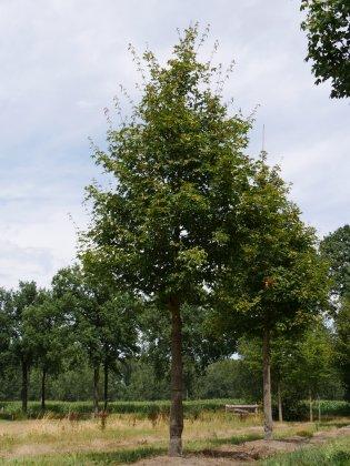 Acer-zoeschense-annae-45-50-vld