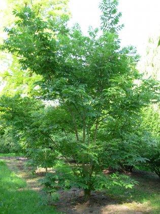 Phellodendron Amurense 3
