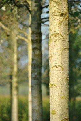 Populus-canescens-witte-van-haamstede