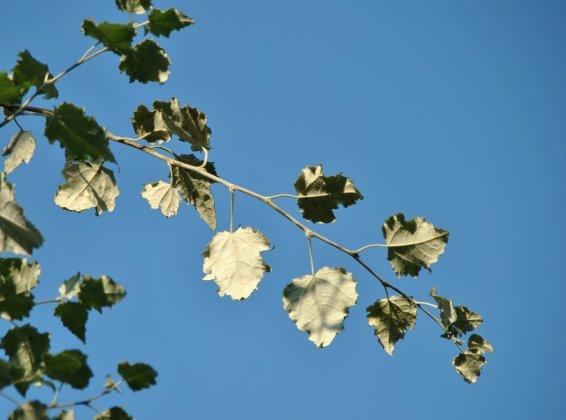 Populus Canescens Witte Van Haamstede