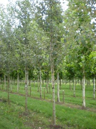 Populus Canescens Witte Van Haamstede 2