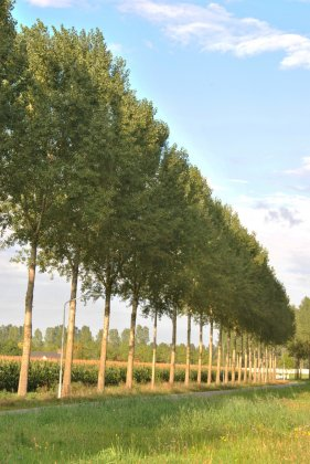 Populus-canadensis-koster