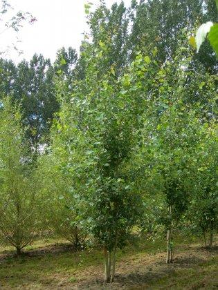 Populus Tremula 1-1