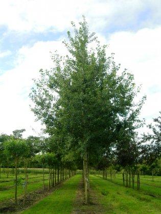 Populus Tremula 3