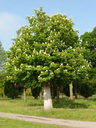 Aesculus Hippocastanum 7