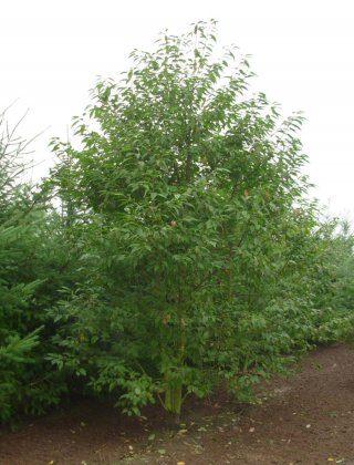 Prunus Avium 2