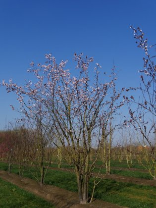 Prunus Cerasifera Nigra 1-1