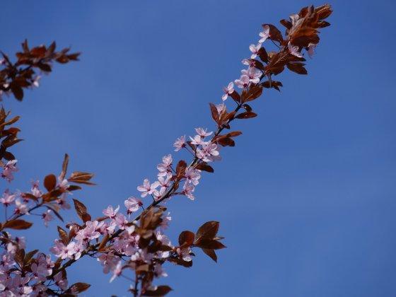 Prunus Cerasifera Nigra 2-1