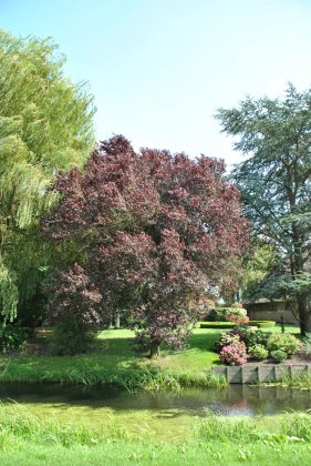 Prunus Cerasifera Nigra 2