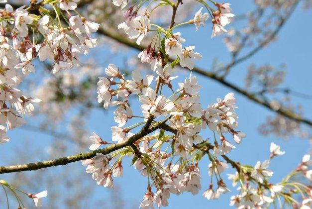 Prunus Incisa 2