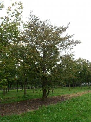 Prunus Incisa 3