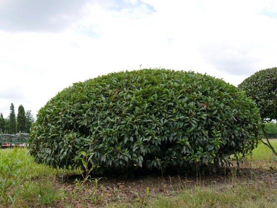 Prunus Lusitanica Angustifolia 2