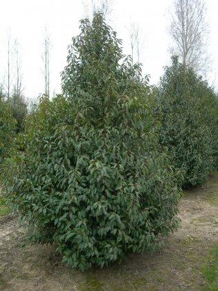 Prunus Lusitanica Angustifolia 3