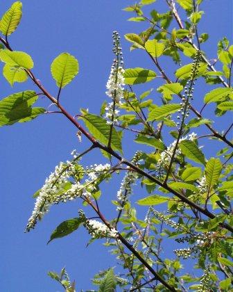 Prunus Padus Watereri Bloem