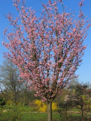Prunus-sargentii-rancho