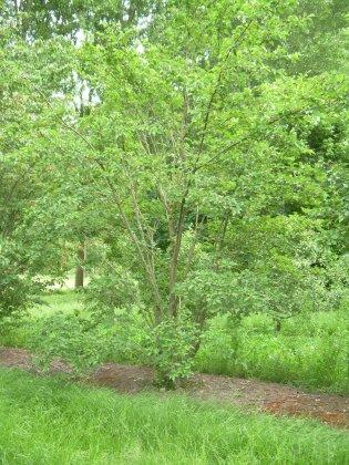 Prunus Sargentii Rancho 1-1