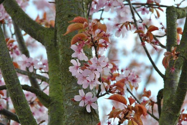 Prunus Sargentii Rancho 1