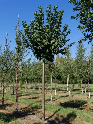 Prunus Sargentii Rancho 2