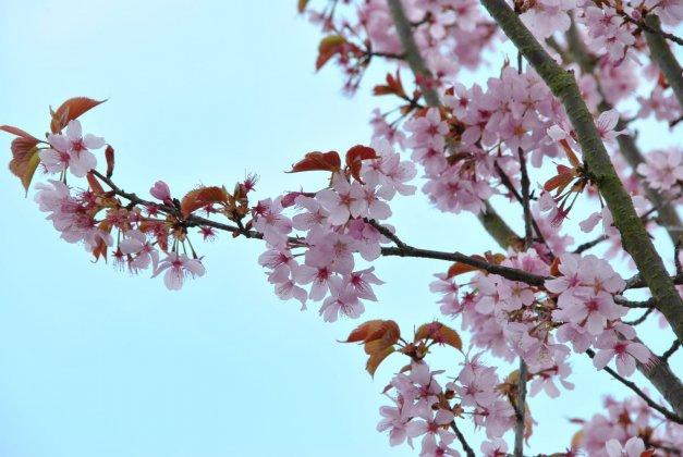 Prunus Sargentii Rancho 3