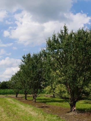 Prunus Serrula-1