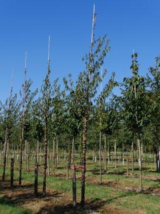 Prunus Serrula 1-1