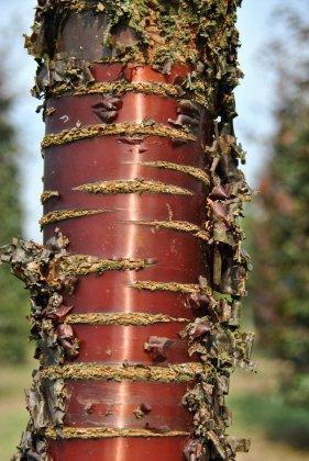 Prunus Serrula 2