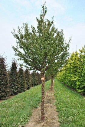 Prunus Serulla