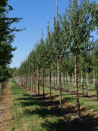 Prunus Serrula Branklyn 2