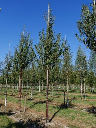 Prunus Serrula Branklyn 25-30 Dia