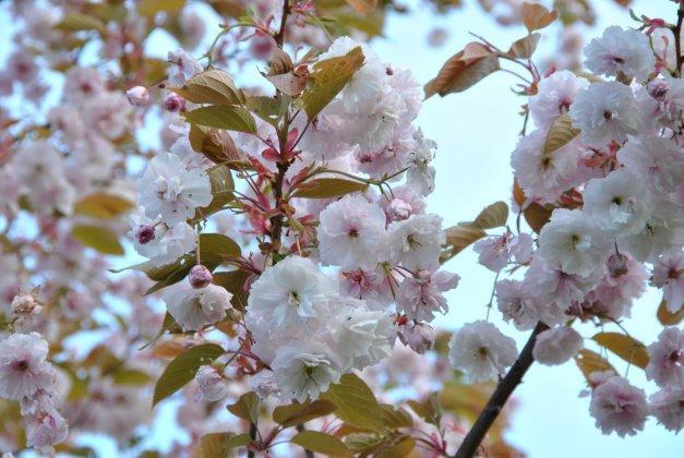 Prunus Serrulata Fugenzo 34