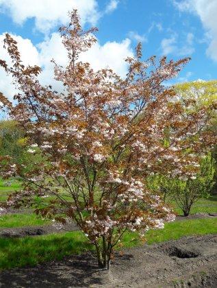 Prunus Serrulata Shirofugen H400-450