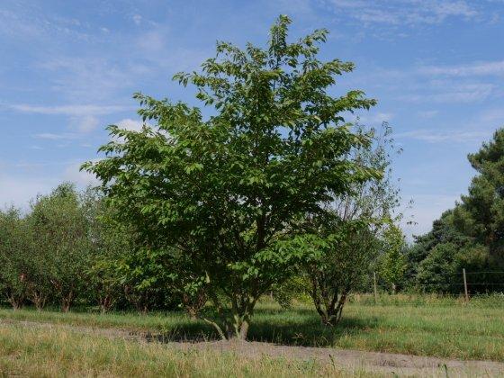Prunus Serrulata Shirofugen H450-500 Vrw Juli2016