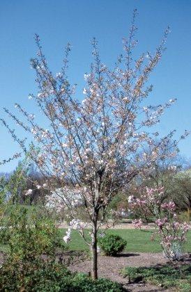 Prunus-serrulata-ichiyo