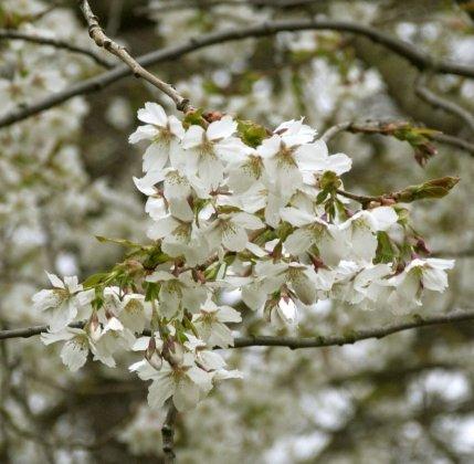 Prunus-serrulata-jo-nioi